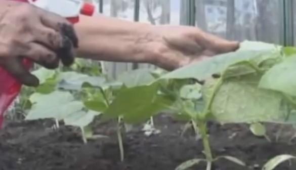 Кабачки высадка рассады в открытый грунт 30