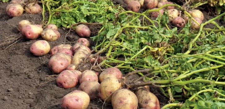 Когда на кубани сажать картошку 86