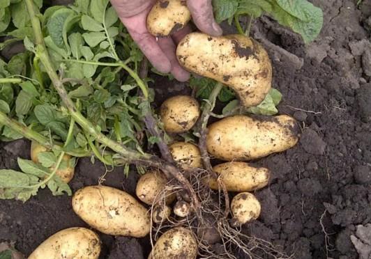 Когда сажать картофель в 2018г 93