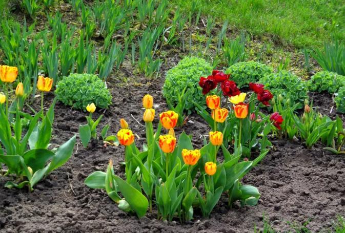 Посадка тюльпанов осенью в Подмосковье: время, сроки, правила 38
