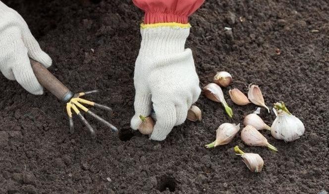 Как сажать чеснок весной зубчиками: подготовка, сроки и правила посадки