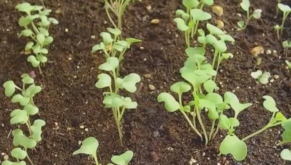 Когда сеять и сажать капусту на рассаду в грунт