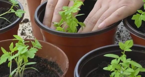 Как правильно сажать рассаду помидор и когда