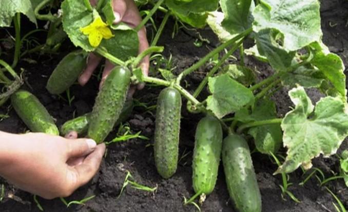 Выращивание огурцов: когда сеять рассаду для теплицы и парника 44