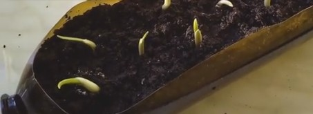 Как садить чеснок весной в сибири
