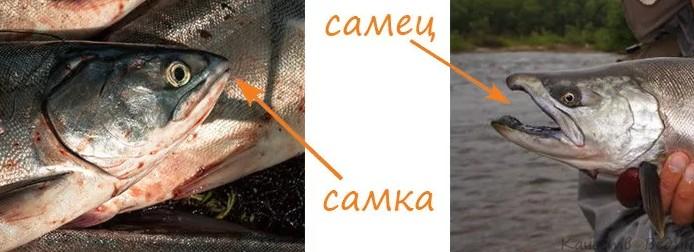 Горбуша- как отличить самку от самца и выбрать рыбу с икрой (фото видео)